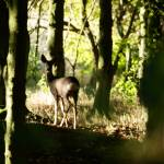 """Roe doe in woodland"" by AndyBeattie"