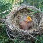 """Baby Birds"" by legion150"