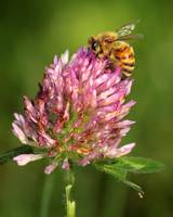 Bee on a clover flower