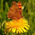 """""""Butterfly on a Dandelion"""" by tagauthier"""