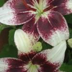 """Lovely Lillies"" by BVeldkamp"