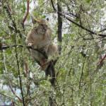 """Bobcat up a Tree"" by PettProjects"