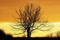 lone bare tree in the sunset