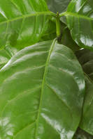 Coffee arabica leaf