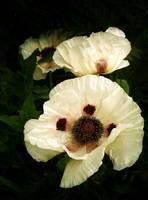 Oriental Poppies In Cream