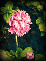 Pink Primula Flowers
