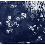"""""""duotoned cherry blossom over water"""" by apprentice50"""