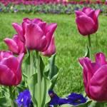 """Pink Tulips"" by JaneKPhoto"