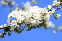 Blossoming twig of cherry-tree (white flowers)