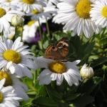 """""""Daisy Butterfly"""" by JaneKPhoto"""
