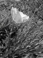 Black and White Flower in Grass