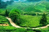 Cameron Highland - The velvet Carpets