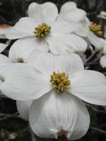 Missouri Dogwood Upclose