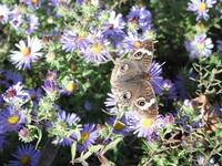 Butterfly on Asters