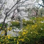 """Central Park Forsythia and Cherry Blossom,New York"" by ShaneWells"