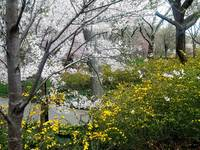 Central Park Forsythia and Cherry Blossom,New York