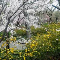 """Central Park Forsythia and Cherry BlossomNew York"" by Shane Wells"