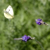 Macro butterfly & lavender flowers Art Prints & Posters by Frederika Dean