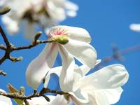 Botanical Floral Magnolia Tree Flowers art