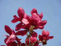 Botanical Pink Magnolia Flowering Tree art