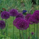 """""""Allium Giganteum"""" by kendietz"""