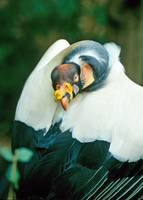 king vulture bird