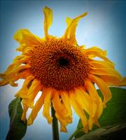 tiredsunflower