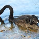 """Black Swan Drinking"" by JaneKPhoto"