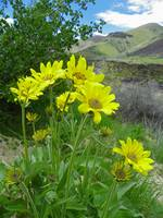 Botanical - Arrowleaf Balsamroot