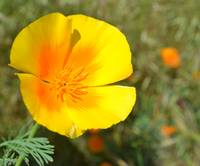 Yellow and Orange Poppy
