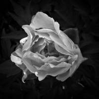 """Peony In Black And White"" by bavosiphotoart"