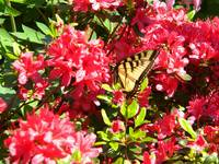 Red rhododendron with swallowtail butterfly