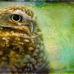 """Portrait of an Owl"" by alanshapiro"