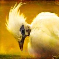 Portrait of Liberace Reincarnated as a Bird Art Prints & Posters by Alan Shapiro