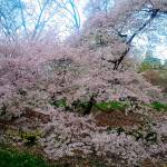 """Central Park Cherry Blossoms"" by ShaneWells"