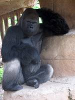 The thinking gorilla