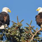 """2 Eagles in a Tree"" by CaptureLife"
