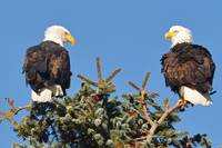 2 Eagles in a Tree