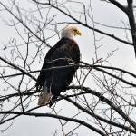 """Stately Eagle"" by CaptureLife"