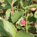"""Strawberry"" by 3X2Photo"