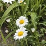 """Daisies"" by 3X2Photo"