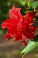 Red Blossoming Hibiscus