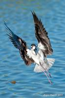 Angel's Wings - Black-necked Stilt
