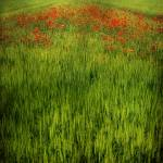 """landscape with poppies"" by phototarget"