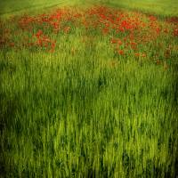 landscape with poppies Art Prints & Posters by Maurizio T.