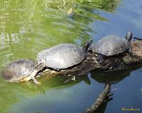 Three Turtles Resting on Log