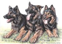 Long-haired German Shepherds
