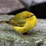 """""""Warbler"""" by cameragal"""