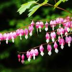 """Strands of Bleeding Hearts"" by jamisonsyphersphotography"