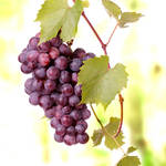 """Red grape cluster."" by Piotr_Marcinski"